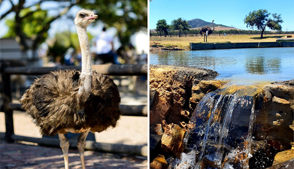 Entrance, Guided Tour and Gourmet Ostrich Burgers & Fries for 2 People at Cape Town Ostrich Ranch!